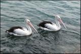 Australian Pelican   (Pelicanus conspicillatus).jpg