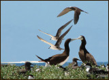 Brown Booby   (Sula leucogaster).jpg