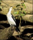 Little Pied Cormorant   (Phalacrocorax melanoleucos).jpg