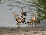 Plumed Whistling-duck   (Dendrocygna eytoni).jpg
