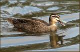 Black Pacific Duck   (Anas superciliosa).jpg