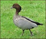 Australian Wood Duck   (Chenonetta jubata).jpg