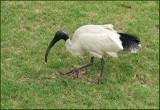 Australian White Ibis   (Threskiornis molucca).jpg