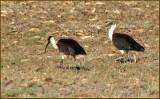 Straw-necked Ibis   (Threskiornis spinicollis).jpg