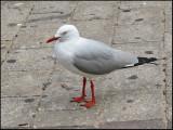 Silver Gull   (Larus novaehollandiae).jpg