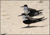 Sooty Tern   (Sterna fuscata).jpg
