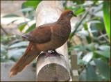 Brown Cuckoo-dove   (Macropygia amboinensis).jpg