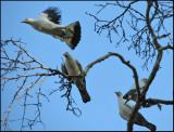 Pied Imperial Pigeon   (Ducula biclor).jpg