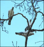 Pied Imperial Pigeons.jpg