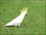 Sulphur-crested Cockatoo.jpg