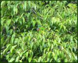 Double-eyed Fig-parrot   (Cyclopsitta diopthalma).jpg