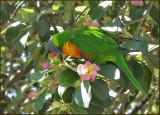 Rainbow Lorikeet   (Trichoglossus haematodus).jpg