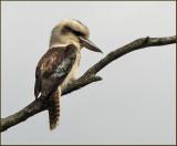 Laughing Kookaburra   (Dacelo novaeguineae).jpg
