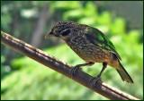Spotted catbird   (Ailuroedus maculosus).jpg