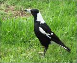 Australian Magpie   (Gymnorhina tibicen).jpg