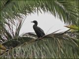 Little Black Cormorant   (Phalacrocorax sulcirostris).jpg