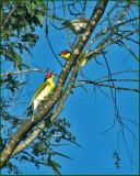 Yellow Figbird   (Sphecotheres flaviventris).jpg
