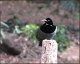 Victorias Riflebird   (Ptiloris victoriae).jpg