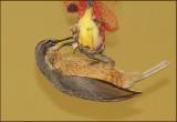 Victorias Riflebird female.jpg