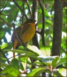 Golden Bowerbird   (Prionodura newtoniana).jpg