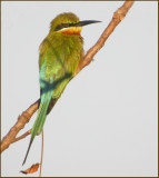 Blue-tailed bee-eater   (Merops philippinus).jpg