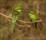 Green bee-eaters   (Merops orientalis).jpg