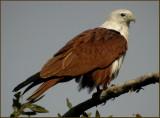 Brahminy Kite   (Haliastur indus).jpg