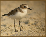 Lesser Sandplover   (Charadrius mongolus).jpg