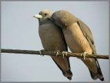 Ashy Woodswallow   (Artamus fuscus).jpg