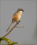 Long-tailed Shrike   (Lanius schach).jpg