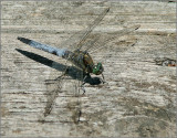 Black-tailed skimmer   (Orthetrum cancellatum).jpg