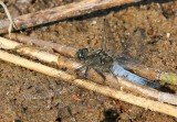 Black-tailed Skimmer male.jpg