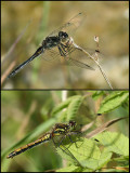 Black Darter m and f   (Sympetrum danae).jpg