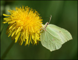 Ruderalia sp. and a female Brimstone butterflyjpg