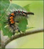 Swedish Lymantrid Moths, Tofsspinnare (Lymantriidae)