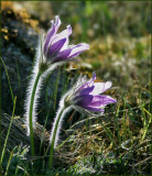 Pasque flower Backsippa   (Pulsatilla vulgaris).jpg