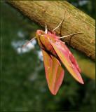 Swedish Hawk-moths (Sphingidae)