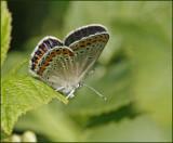 P.argyrognomon female.jpg