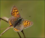 Small Copper, Mindre guldvinge   (Lycaena phlaeas)..jpg