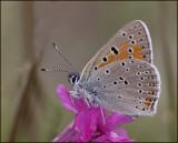 Purple-edged Copper male, Violettkantad guldvinge   (Lycaena hippothoe).jpg