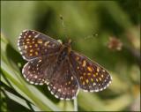 False Heath Fritillary male, Sotnätfjäril hane   (Melitaea diamina).jpg