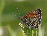 False Heath Fritillary female, Sotnätfjäril hona   (Melitaea diamina).jpg