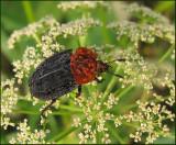 Swedish Carion Beetles, Asbaggar (Silphidae)