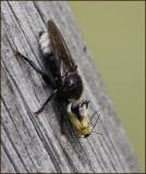 Swedish Robberflies, Rovflugor (ASILIDAE)