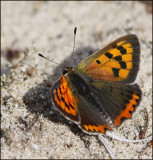 Swedish Hairstreaks, Coppers and Blues  (Lycaenidae)