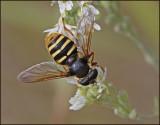 Swedish Hoverflies, Blomflugor - Eristalinae, and Microdontinae