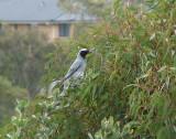 Black-faced Cuckoo-shrike  (Coracina novarehollandiae).jpg