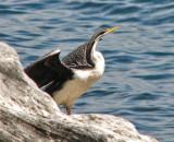 Darter,   ( Anhinga melanogaster).jpg