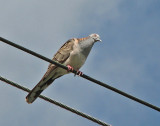 Bar-shouldered Dove   (Geopela humeralis).jpg