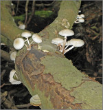 Porcelain Mushroom Porslinsskivling   (Oudemansiella mucida).jpg